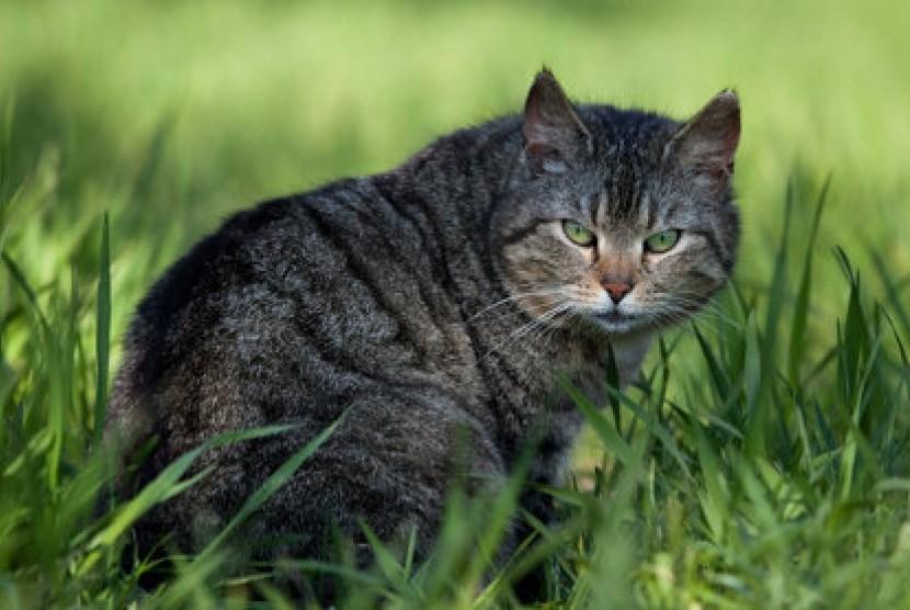 Kucing Piaraan (ilustrasi)