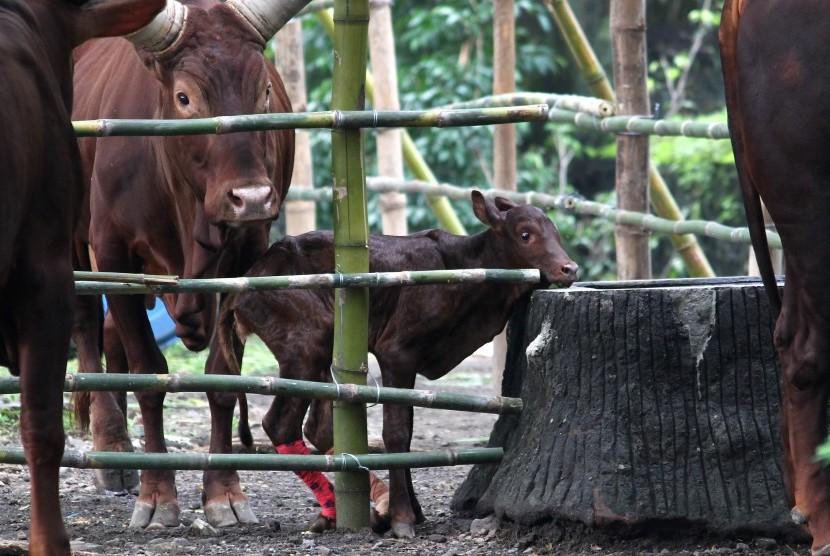 Lembu Ankole atau Watusi anakan sedang dijaga induknya di salah satu kandang di Kebun Binatang Surabaya (KBS), Jawa Timur, Jumat (4/3).