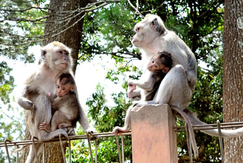Primata monyet ekor panjang (macaca Fascicularis) di dalam area Grojogan Sewu menjadi salah satu daya tarik pengunjung wisata di Grojogan Sewu Kabupaten Karanganyar, Jawa Tengah, Senin (7/4). (dok.Pushumas Kemenhut)