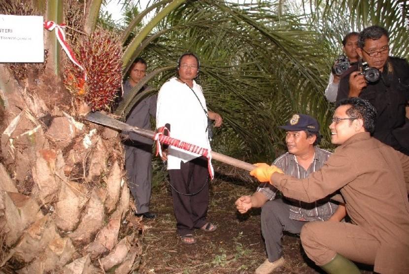 Menakertrans Muhaimin Iskandar saat melakukan panen sawit di Jambi
