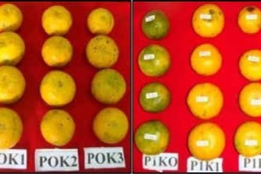 Pakar dari IPB meneliti pembentukan warna jingga pada jeruk siam.