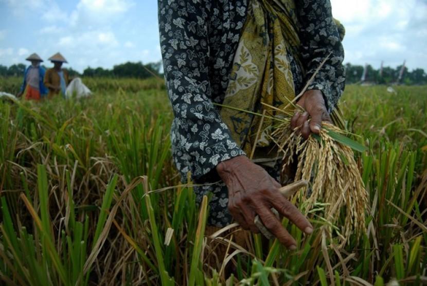 Panen padi. Negeri ini bergelar Gemah Ripah Loh Jinawi