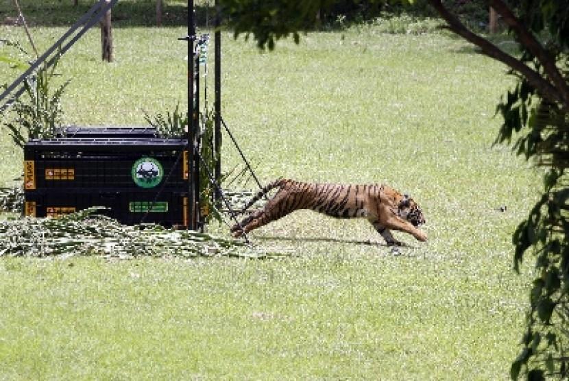 Harimau Penerkam Warga Inhil Berkeliaran Sejak 2016
