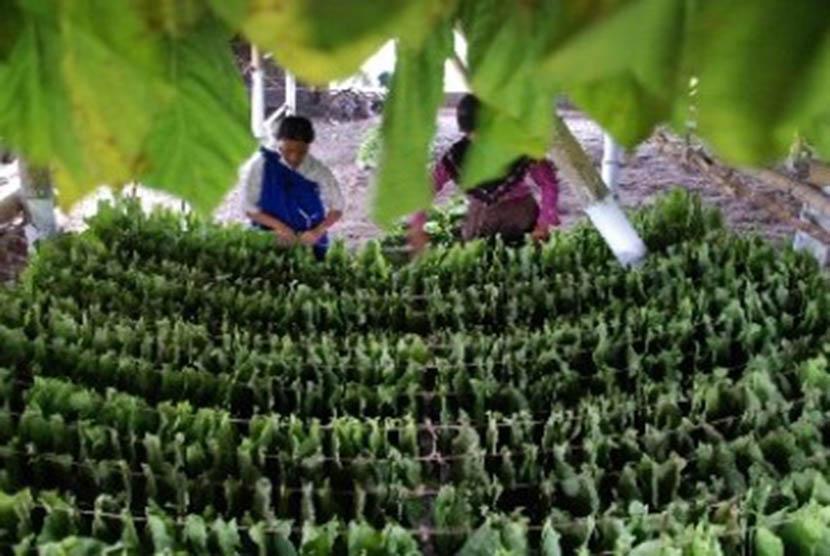 Pekerja menata daun tembakau sebelum dikeringkan di Klaten, Jawa Tengah.