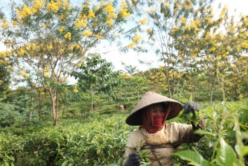 Pemetik teh di perkebunan teh Kertosono, PTPN XII di kawasan wisata Gucialit