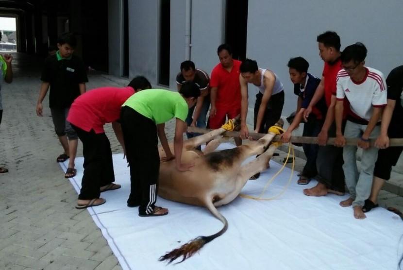 Pemotongan hewan kurban di kampus BSI Bekasi, Kampus Kaliabang.