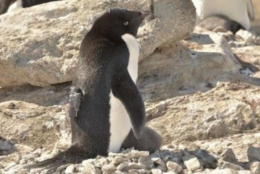 Penguin Adelie