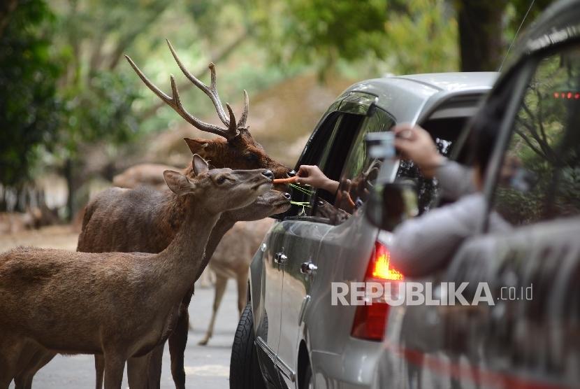 Pengunjung memberi makan satwa di Taman Safari Indonesia, Bogor.
