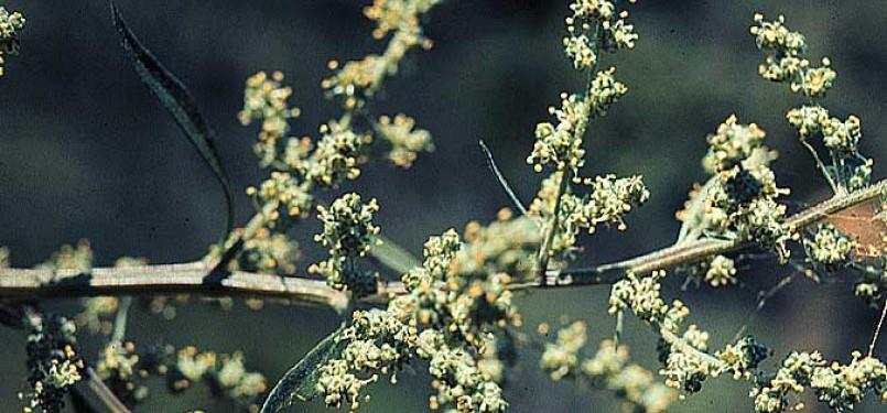 Penyerbukan angin pada tumbuhan (ilustrasi)