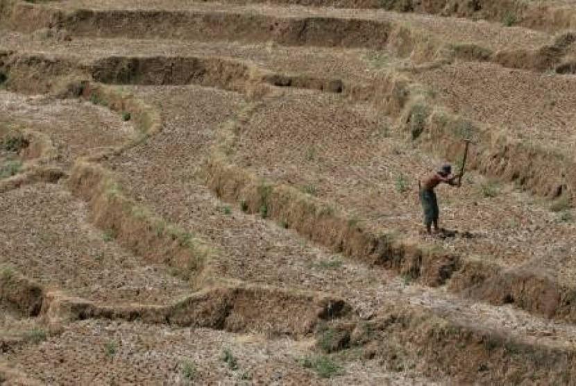 Kekeringan, Puluhan Hektare Tanaman Padi di Indramayu Mati
