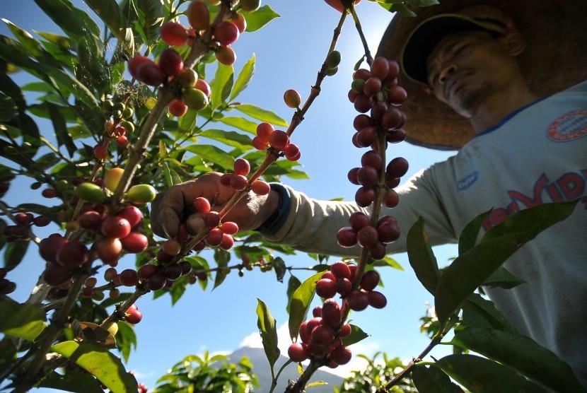 Petani memanen biji kopi robusta di Bengkolan Dua, Gunung Tujuh, Kerinci, Jambi, Sabtu (1/7). Data Kementerian Pertanian (Kementan) menyebutkan, Indonesia merupakan penghasil kopi terbesar keempat setelah Brazil, Vietnam, dan Kolombia.
