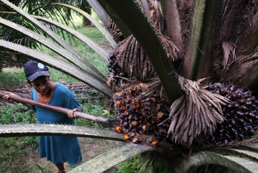 Petani memanen kelapa sawit dengan alat cungkil. (ilustrasi)