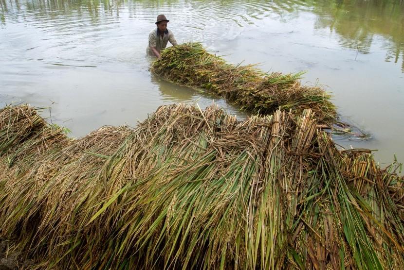 Sawah terendam banjir (ilustrasi)