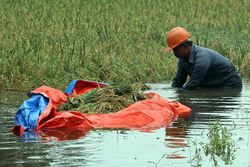 Petani memanen padi yang terendam banjir