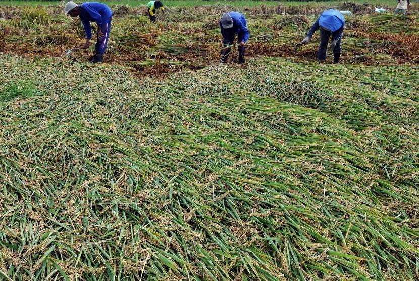 Produksi Padi di Sukabumi Meningkat Signifikan