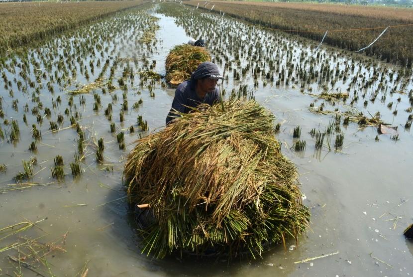 Petani memanen tanaman padi yang terendam banjir di persawahan Gempolsari, Tanggulangin, Sidoarjo, Jawa Timur, Jumat (19/2)