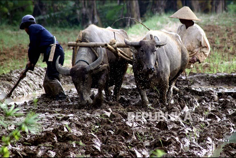 Petani membajak sawah menggunakan kerbau di lahan pertanian Kampung Sawah, Kabupaten Bogor, Jawa Barat, Selasa (19/9). Kementerian Pertanian berharap realisasi cetak sawah hingga akhir September 2017 ini sebesar 57.626 ha atau 80% dari target 72.033 ha sepanjang 2017,  selanjutnya agar dapat langsung ditanami dan akan dipanen pada Desember pada tahun yang sama.
