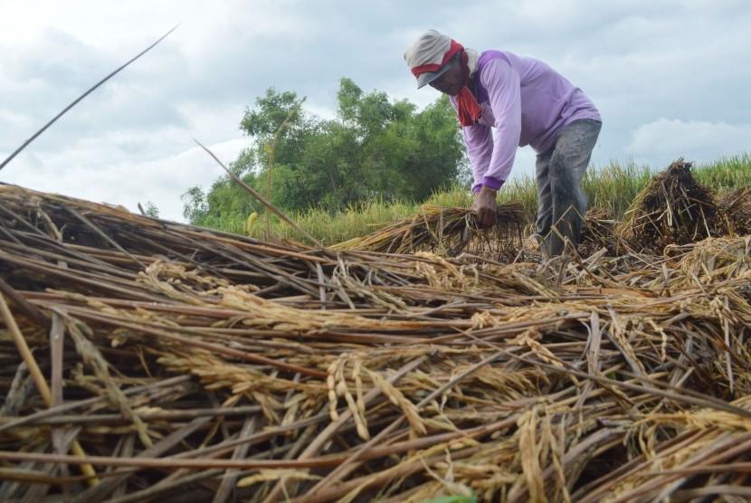 200 Hektare Padi di Langkat Diserang Wereng