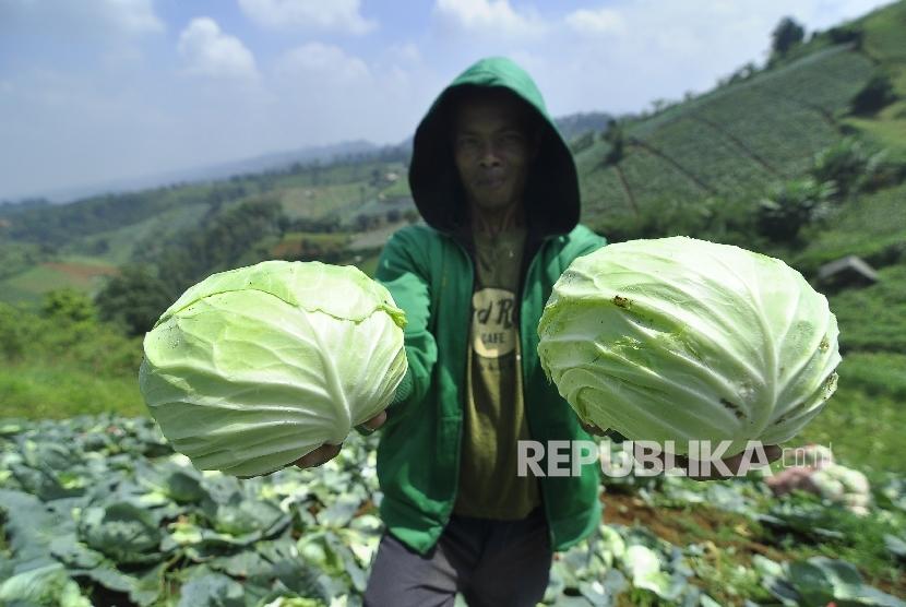 Petani memperlihatkan sayuran kol saat panen di ladang pertaniannya, Kampung Pasanggrahan, Desa Ciburial, Kecamatan Cimenyan, Kabupaten Bandung, Rabu (3/5).