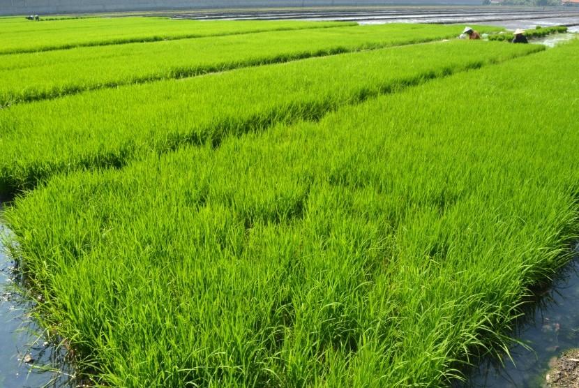 Padi Ditanam di Sawah Air Asin, Produksinya 9,5 Ton
