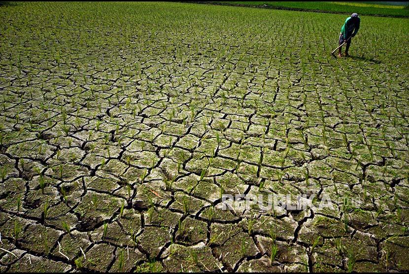 Petani mencangkul di antara padi yang baru ditanam. (ilustrasi)