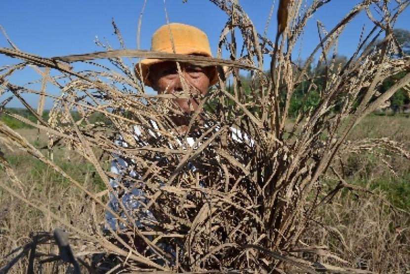 Petani menunjukkan tanaman padinya yang rusak akibat serangan hama wereng.