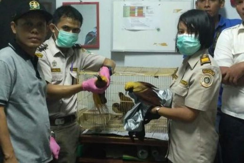 Petugas menggagalkan penyelundupan burung cendrawasih di Bandara Kuala Namu, Kamis (10/8).