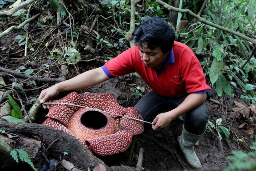 Rafflesia di Bengkulu Dirusak dengan Cara Dipotong-potong