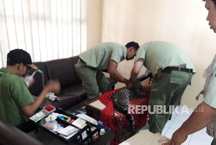 Petugas tengah memeriksa kondisi kesehatan macan tutul yang berhasil dievakuasi dari kolong rumah warga di Kampung Perbawati/Desa Perbawati Kecamatan/Kabupaten Sukabumi Kamis (17/5).