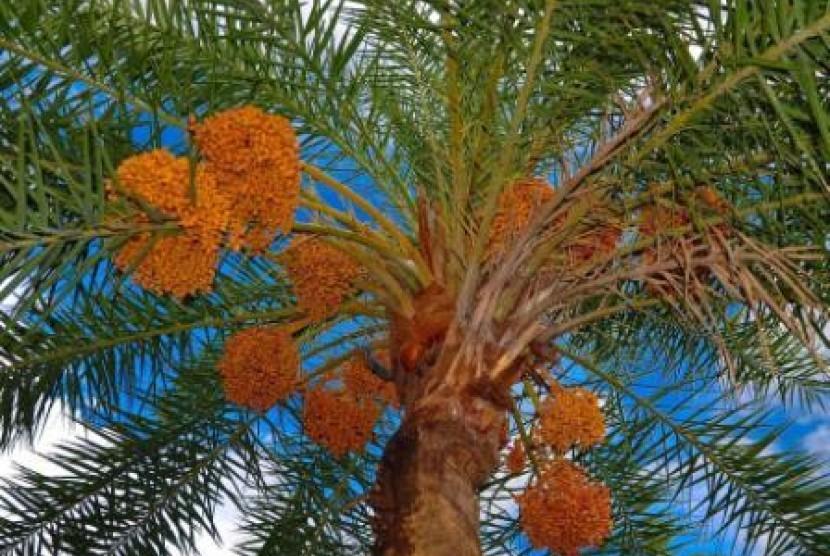Pohon kurma (ilustrasi)