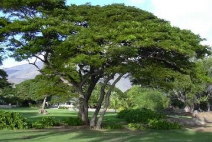 Pohon trembesi, ilustrasi