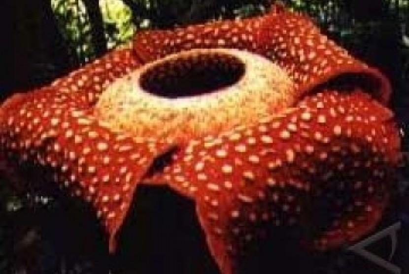 Dua Rafflesia Unik Mekar Sempurna di Kaur