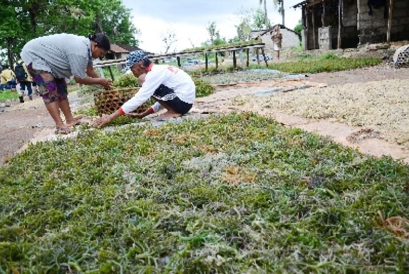 Produksi Rumput Laut NTT Capai 630 Ribu Ton