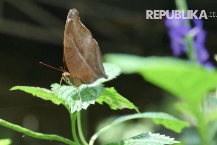 Salah satu jenis kupu-kupu yang unik