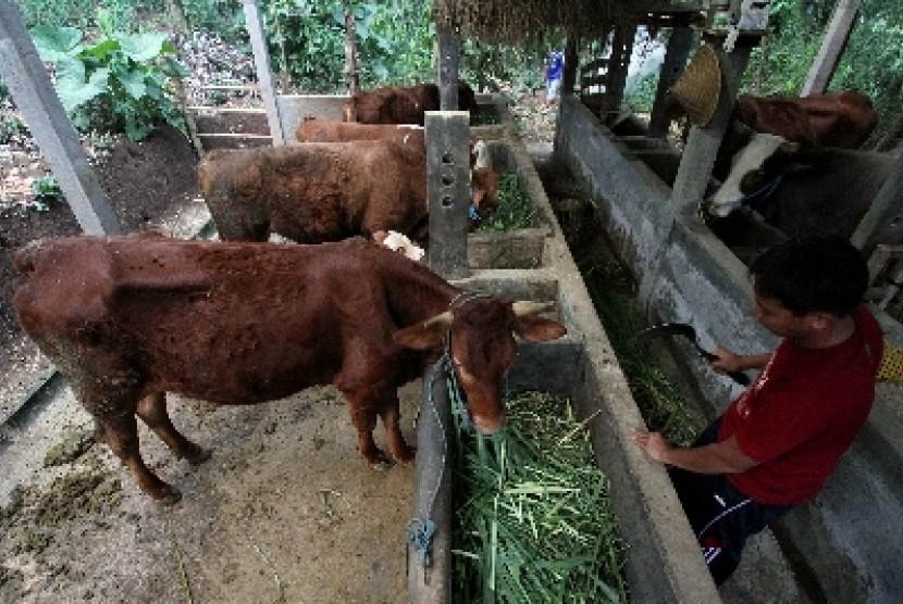 Salah satu peternakan sapi potong di Kediri, Jawa Timur.