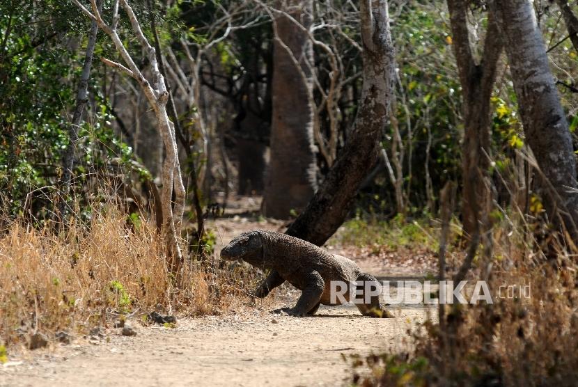 Salah satu satwa dilindungi Komodo melintas pada jalur tracking wisatwan di Taman Nasional Komodo (TNK), Manggarai Barat, NTT,