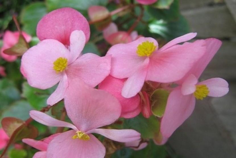 Salah satu spesies begonia