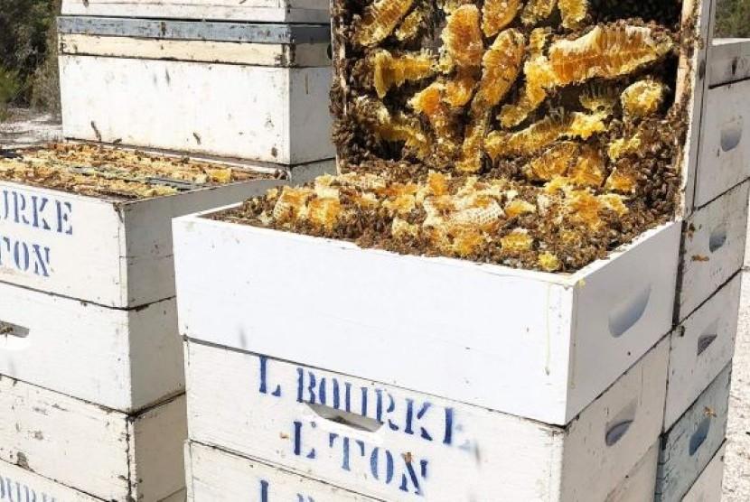 Sarang lebah penghasil madu manuka milik Lindsay Bourke asal Tasmania.