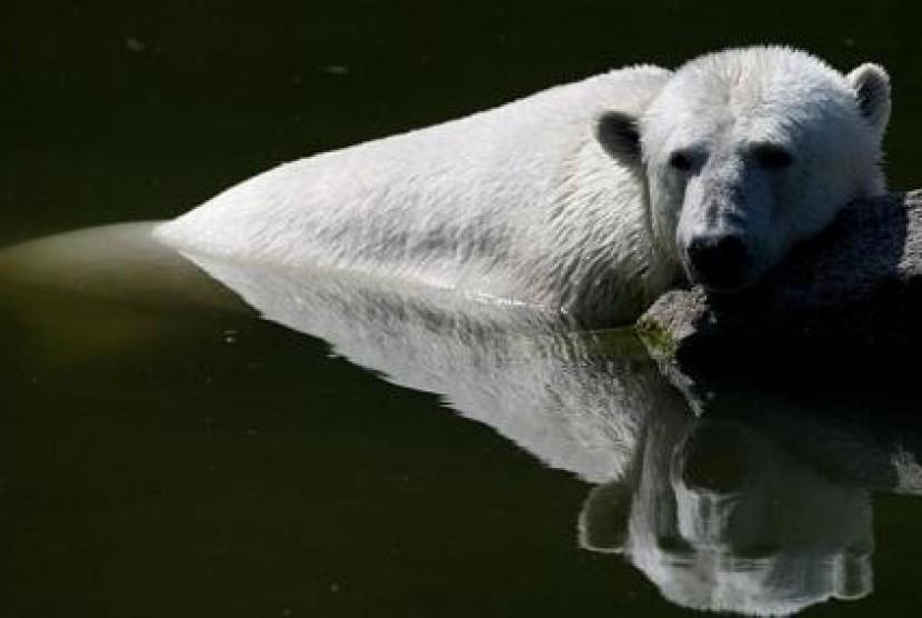 Seekor beruang kutub betina di kebun binatang di Jerman (ilustrasi)