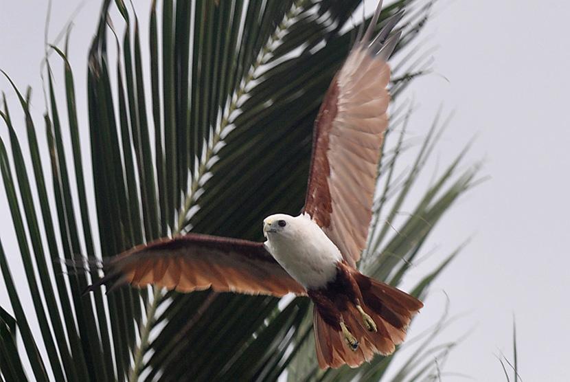 Seekor Elang Bondol (Haliastur Indus) terbang di atas pohon kelapa di Palu, Sulawesi Tengah, Jumat (6/1).