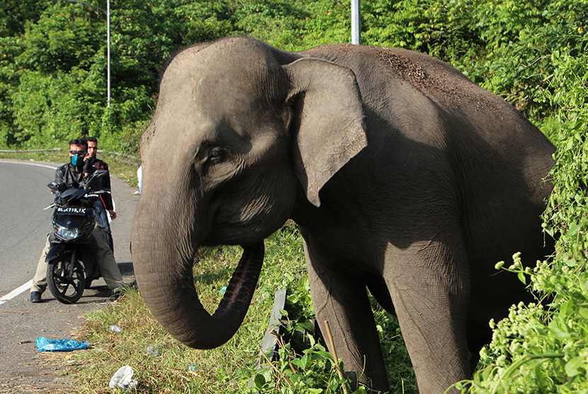 Seekor gajah Sumatera (Elephas Maximus Sumatresnsis) diikat di pinggir jalan di area kawasan Lembah Seulawah, Kabupaten Aceh Besar, Aceh, sehingga menjadi tontotan warga.
