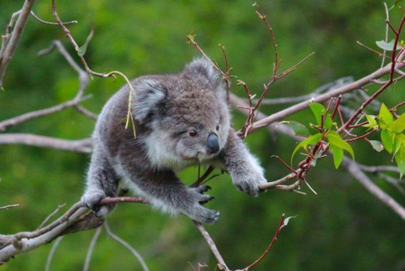 Koala Miliki Sidik Jari Mirip Manusia