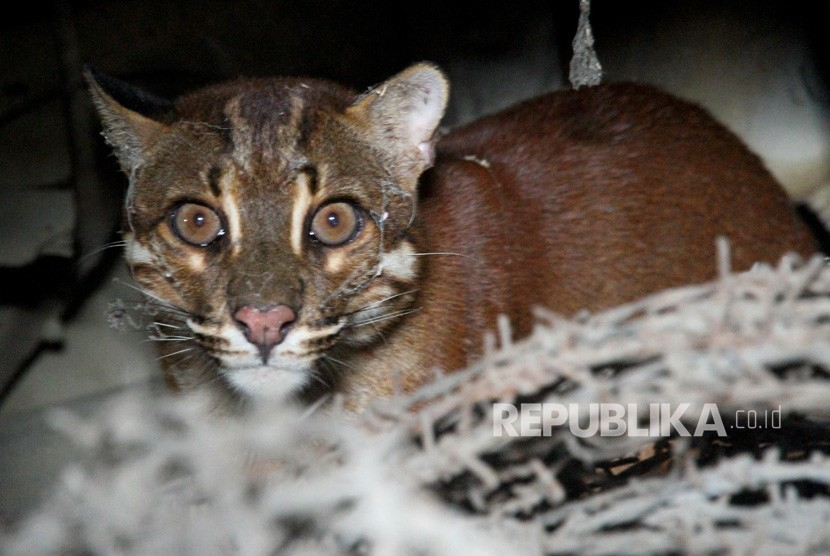 Seekor Kucing Emas Asia (Catopuma temminckii) liar berada di salah satu garasi rumah warga di Desa Masjid, Kecamatan Kaway XVI, Aceh Barat, Aceh, Senin (12/3).