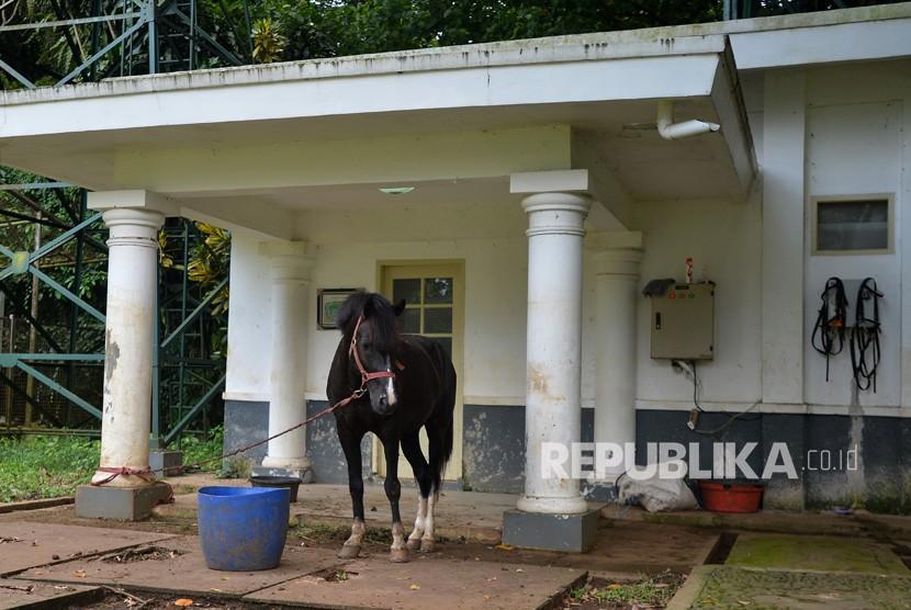 Seekor kuda jenis Sandalwood yang diterima Presiden Joko Widodo dari warga Sumba, NTT, berada di Istana Bogor, Jawa Barat, Senin (12/3).