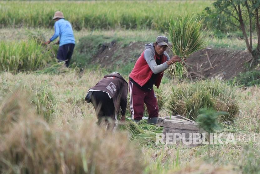 Petani panen padi (ilustrasi)