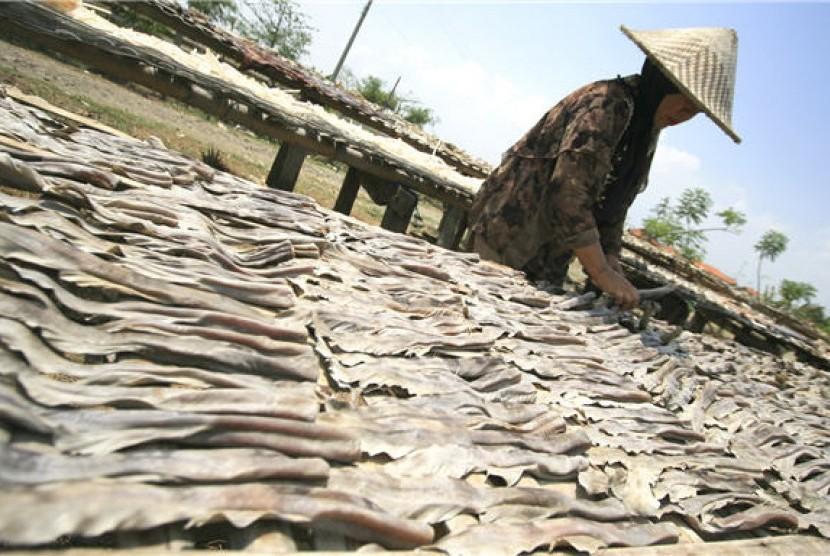 Seorang pekerja menjemur kulit, tulang serta sirip ikan hiu.
