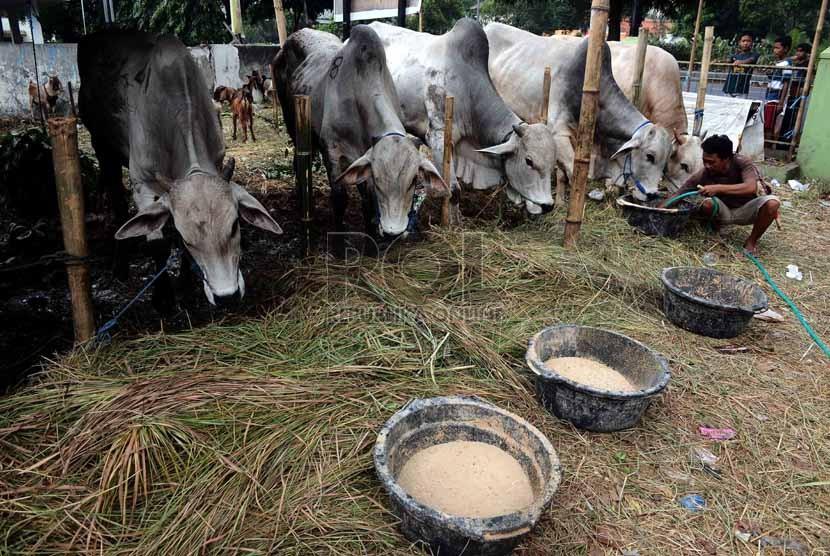 Seorang penjual sapi qurban memberi makan sapi di kawasan Matraman, Jakarta, Senin (7/10). ( Republika/Agung Supriyanto)