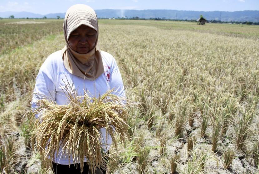 Seorang petani memanen padi di sawah miliknya yang mengalami kekeringan (ilustrasi)