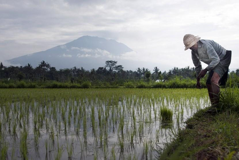 Seorang petani mengerjakan sawahnya di areal persawahan sekitar 12 kilometer dari Gunung Agung yang berstatus awas di Desa Rendang, Karangasem, Bali, Minggu (24/9).