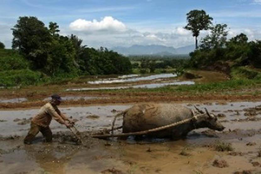 Seorang petani menggunakan kerbau untuk membajak sawah. (ilustrasi)